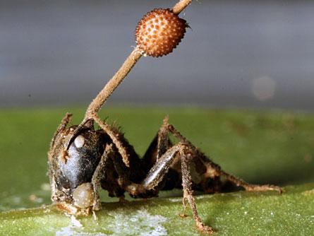 Le Parasite de la Fourmi